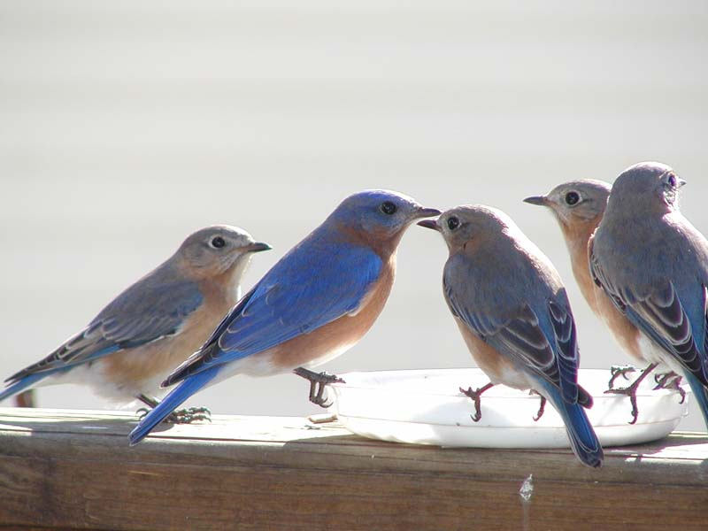 Bluebirds Picture